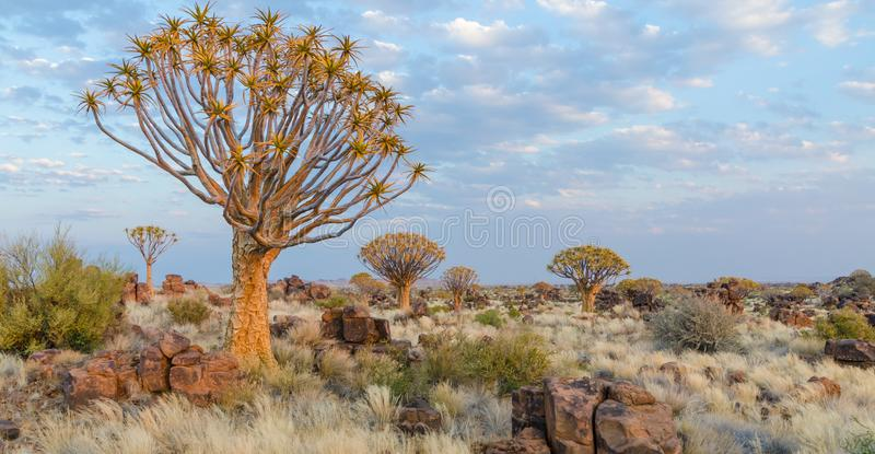 Beautiful exotic quiver tree in rocky and arid Namibian landscape, Namibia, Southern Africa.  royalty free stock photos
