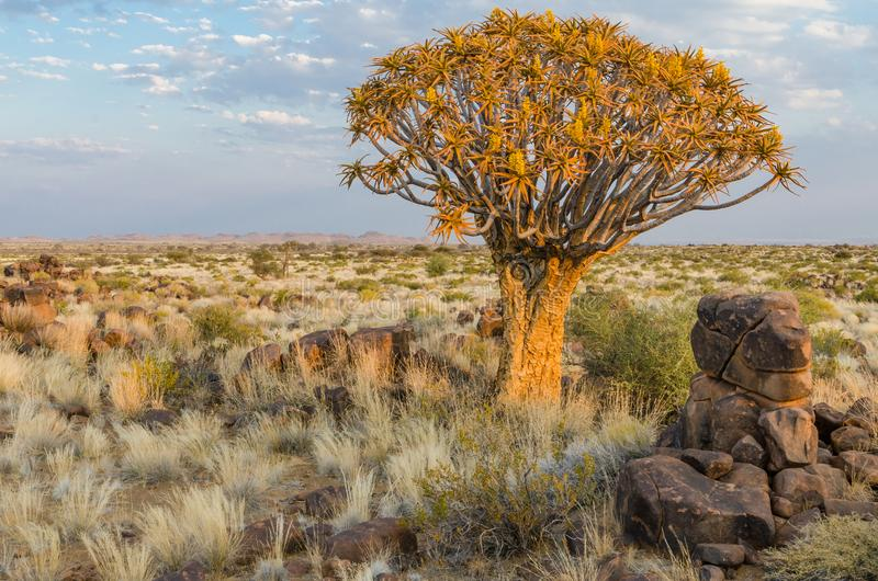 Beautiful exotic quiver tree in rocky and arid Namibian landscape, Namibia, Southern Africa.  royalty free stock photo