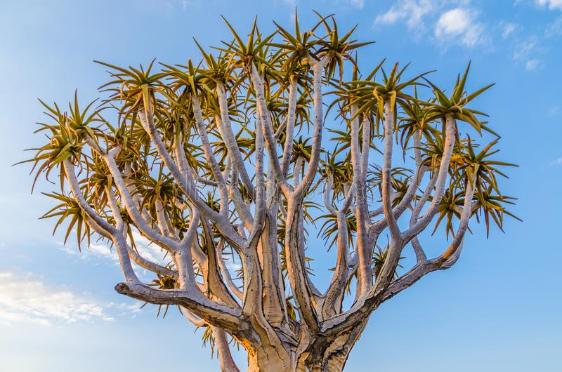 Beautiful exotic quiver tree in rocky and arid Namibian landscape, Namibia, Southern Africa.  stock photography