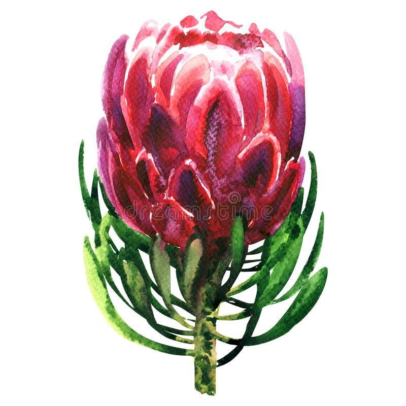 Beautiful exotic red queen protea plant, pink flower blossom, isolated, hand drawn watercolor illustration on white royalty free illustration