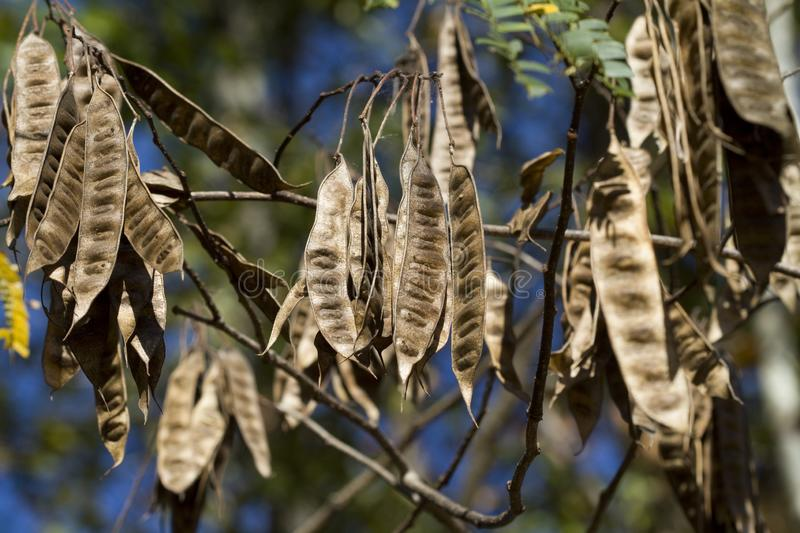 Alabama Silk Mimosa Tree Seed Pods royalty free stock photography