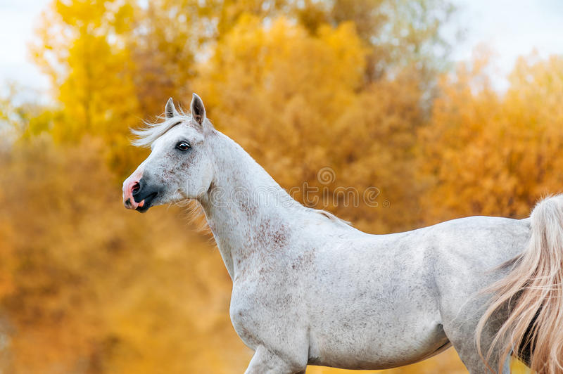 Beautiful expressive portrait of a white stallion Arabian royalty free stock photography