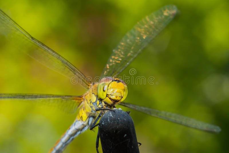 Beautiful extreme macro colorful dragonfly insect resting on stick in summer royalty free stock image
