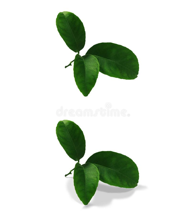 Tangerine green leaves isolated without a shadow and with an original shadow over a white and transparent background PNG. Var3 stock photo
