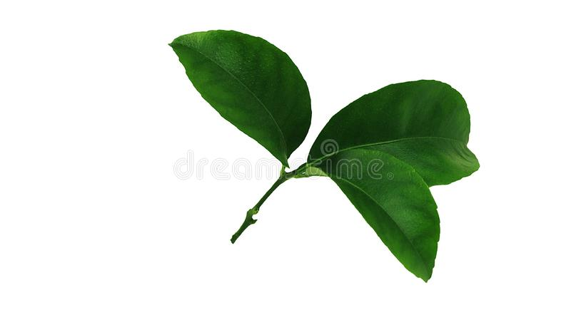 Tangerine green leaves isolated over a white and transparent background. Additional PNG file. Beautiful and extremely fragrant leaves of citrus will decorate royalty free stock images