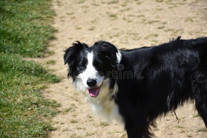 Beautiful Face of a Black and White Border Collie Dog royalty free stock photos