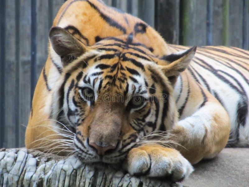 Beautiful face portrait of tiger. Striped fur coat stock photo