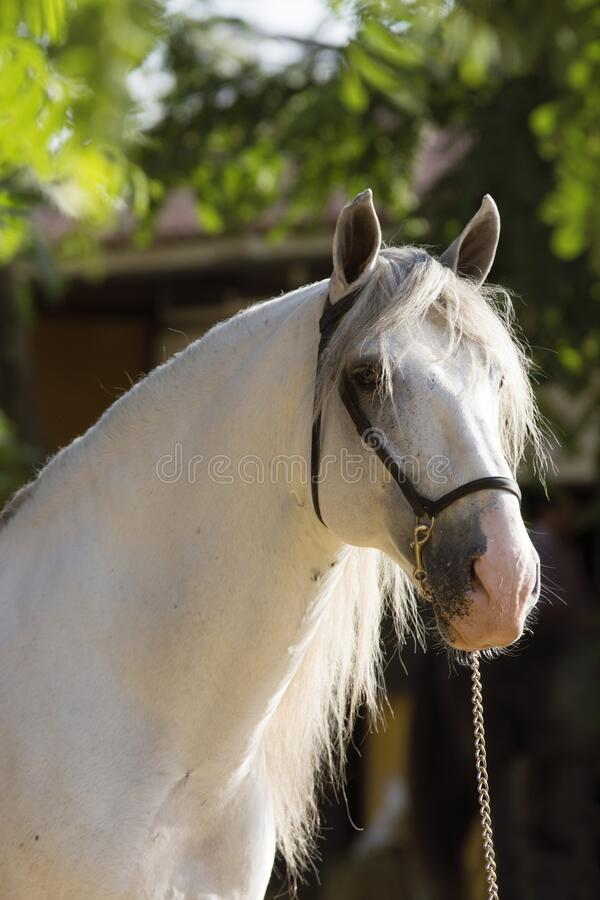 Face portrait of a spanish horse before a competition in Jerez. Beautiful face portrait of a white spanish horse before a competition in Jerez stock photography