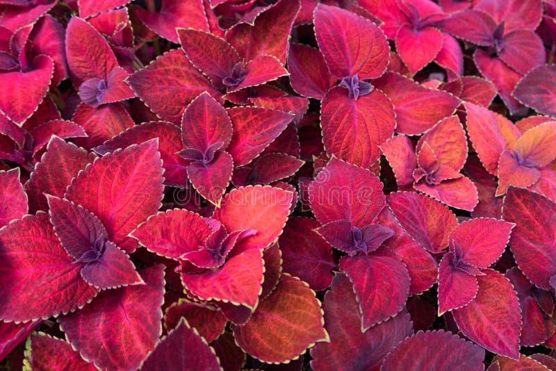 Beautiful fairway red velvet coleus in background royalty free stock photo