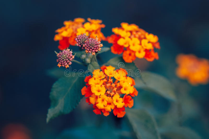 Beautiful fairy dreamy magic red yellow orange flower lantana camara on green blue blurry background. Toned with instagram filters in retro vintage style with stock photos