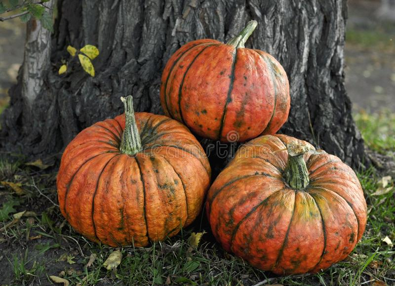 Beautiful fairy orange pumpkin about derevi for Halloween stock image