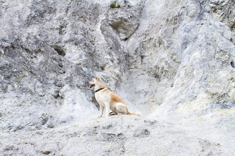 Beautiful faithful thoroughbred obedient Japanese Akita Inu dog sits on a limestone rock in the summer. Beautiful faithful thoroughbred obedient Japanese Akita royalty free stock photo