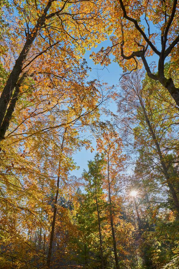 Beautiful fall colors in the forest. On a sunny day royalty free stock image