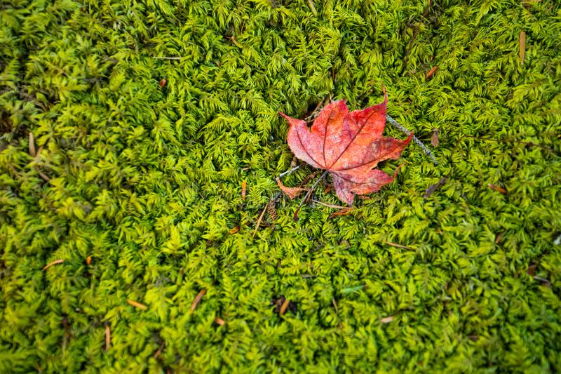 The First Fallen Leaf royalty free stock photo