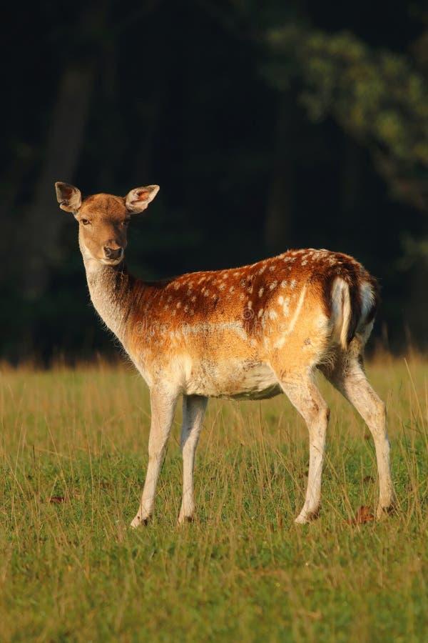 Beautiful fallow deer stock image