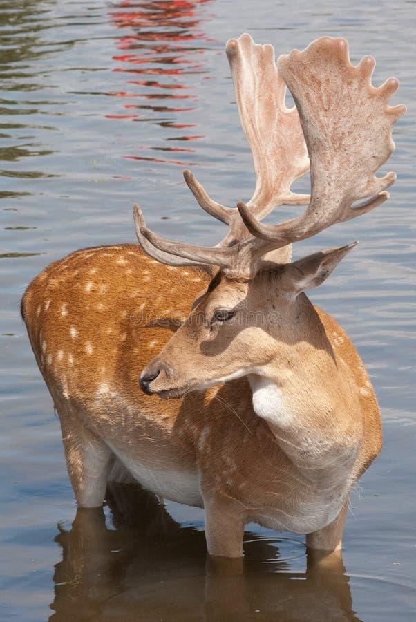 Beautiful Fallow Deer Cooling Off stock photos