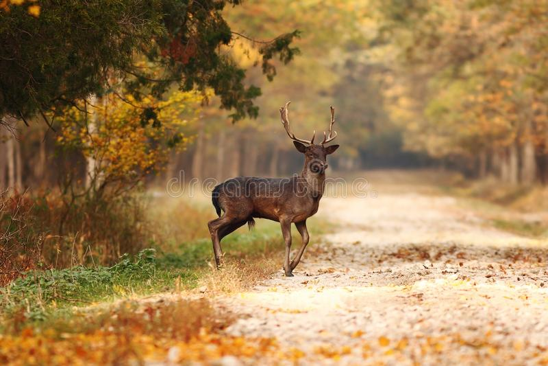 Beautiful fallow deer stag in autumn woods stock photos