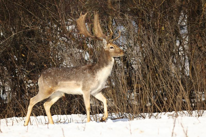 Beautiful fallow deer stag in winter season royalty free stock photo