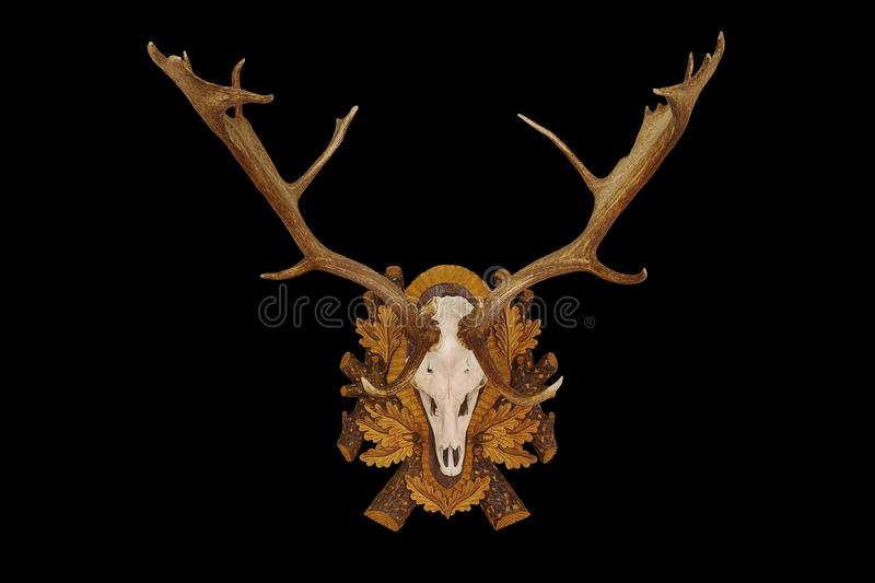 Beautiful fallow deer trophy over black background. Beautiful fallow deer stag hunting trophy isolated over black background for your design stock images