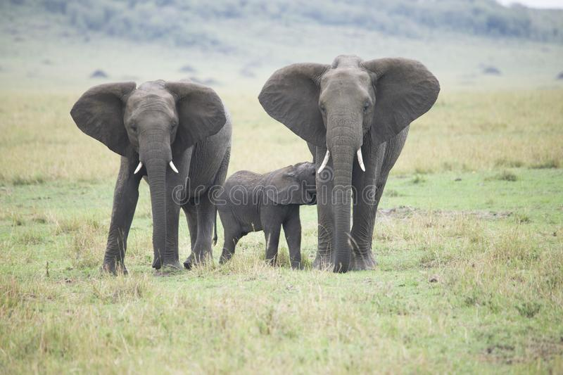 A beautiful family of African elephants walking together along the grass stock photography