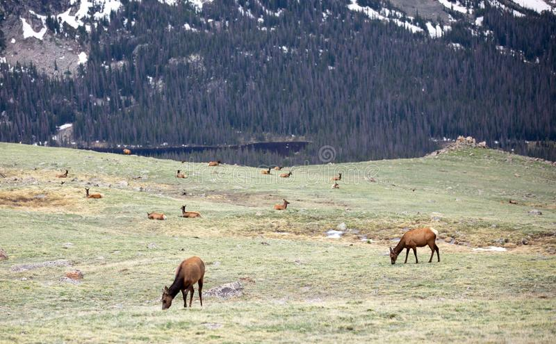 A Herd of Elk Grazing on an Alpine Meadow at Rocky Mountain National Park  in Colorado stock photography