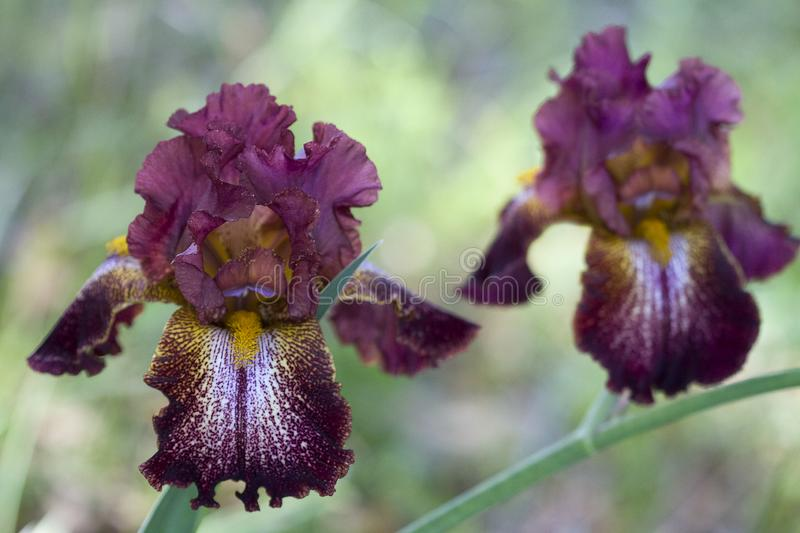 Gorgeous Burgundy Wine and Gold Tall Bearded Iris Blossom. This is a beautiful fancy burgundy wine, white and gold colored tall bearded iris with ruffles. It is royalty free stock images