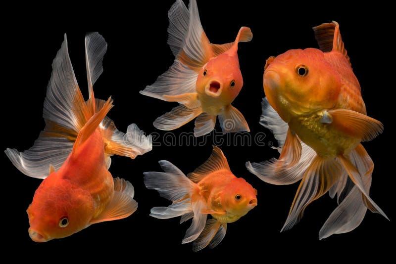 Beautiful fantail 4 goldfish action, Capture swimming golden fish. On dark background stock image