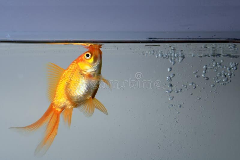 Beautiful fantail goldfish in an aquarium under the water.  stock photos