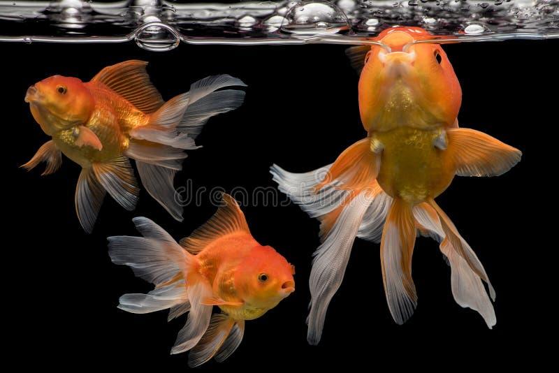 Beautiful fantail 3 goldfish movement, Capture swimming golden fish. On dark background royalty free stock photography