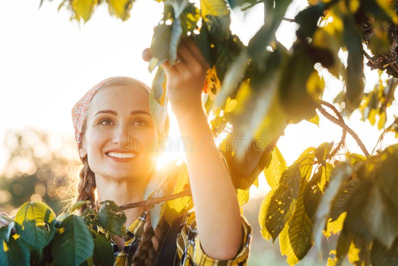 Beautiful farmer woman harvesting cherries from a tree stock photography