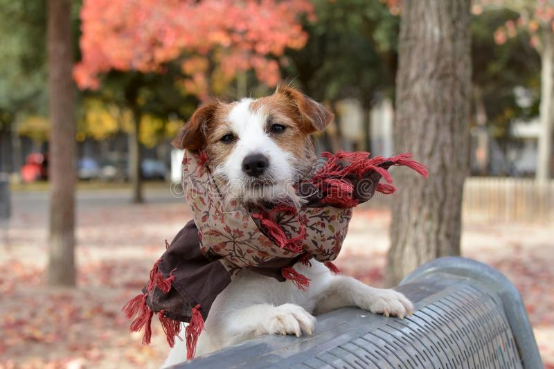 BEAUTIFUL AND FASHION JACK RUSSELL DOG PORTRAIT. WEARING A SCARF royalty free stock photos