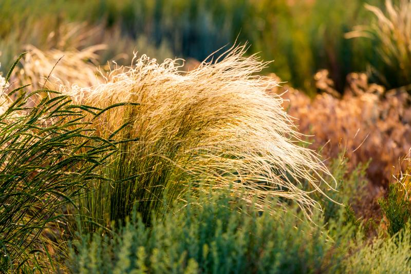 Beautiful of Feather Pennisetum or Mission Grass close up mode with back light of sunrise in the morning, abstract background. Concept, landscape, golden stock photo