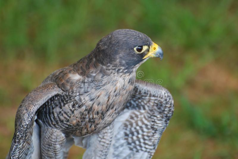 Stunning wild falcon close up photo with pretty feathers royalty free stock photos