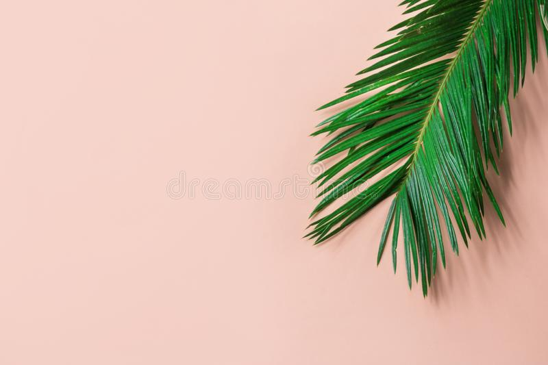 Beautiful feathery green palm leaf on light pink wall background. Summer tropical creative concept. Urban jungle stock image