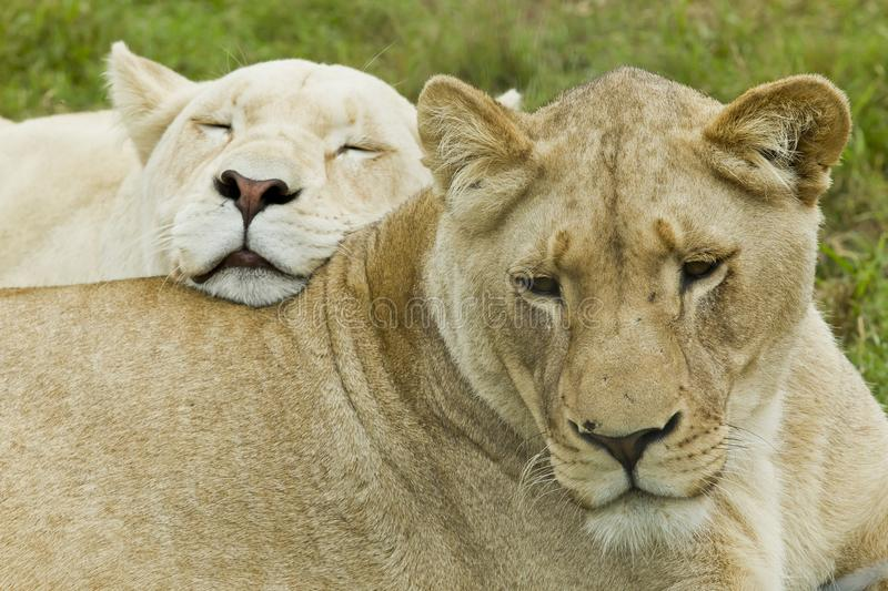 Beautiful femail african lion with a white lioness leaning on her back stock photography