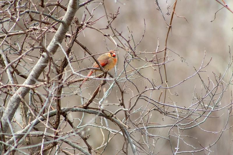 Beautiful female cardinal in winter on bare tree royalty free stock images