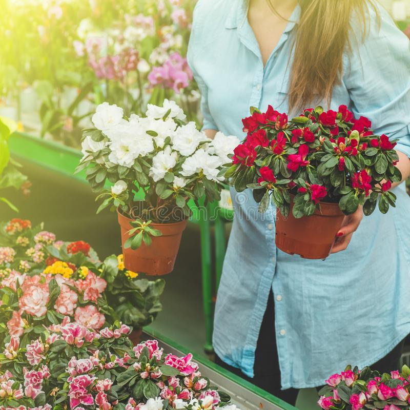 Beautiful female customer smelling colorful blooming flowerpots in the retail store. Gardening In Greenhouse. Botanical garden, flower farming, horticultural stock photography
