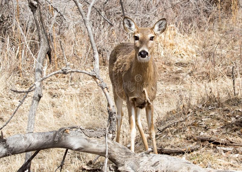 Beautiful Female Mule Deer. At Rocky Mountain Arsenal in Colorado. She has big, gorgeous eyes and long eyelashes stock photography