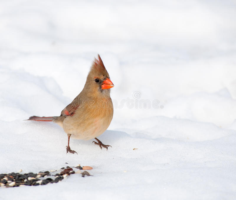 Beautiful female Northern Cardinal stock photo