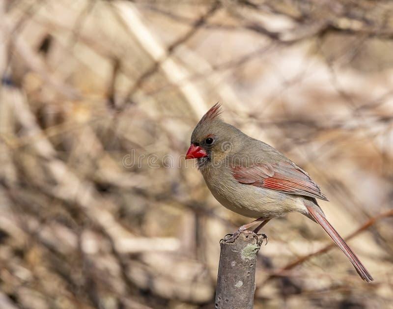 A beautiful female northern cardinal. stock image