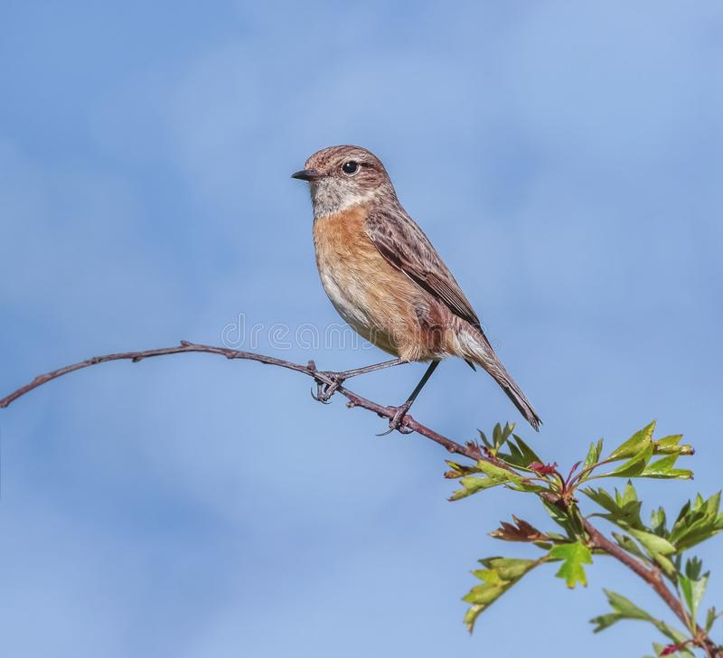 A Beautiful Female Stonechat on Her Perch royalty free stock photos