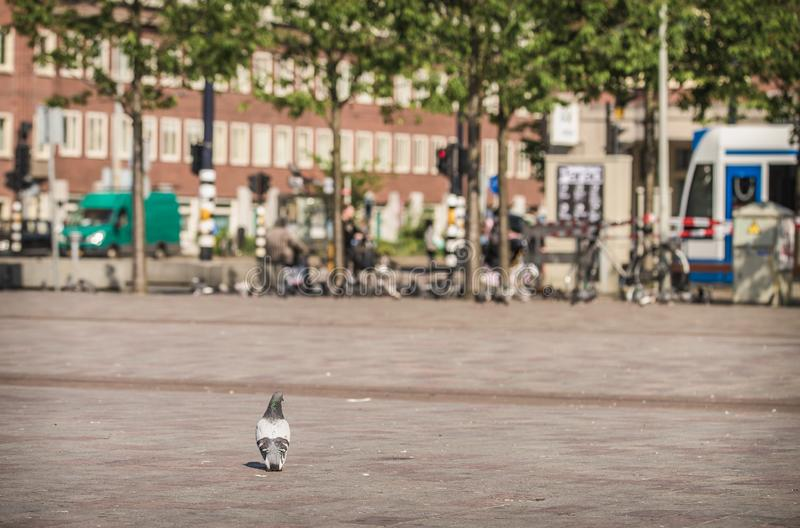 Pigeon standing on a concrete market square in the city of Amsterdam stock photo