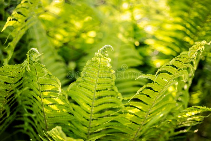 Beautiful fern leaves with fiddleheads green foliage natural floral fern bush background in sunlight. stock image