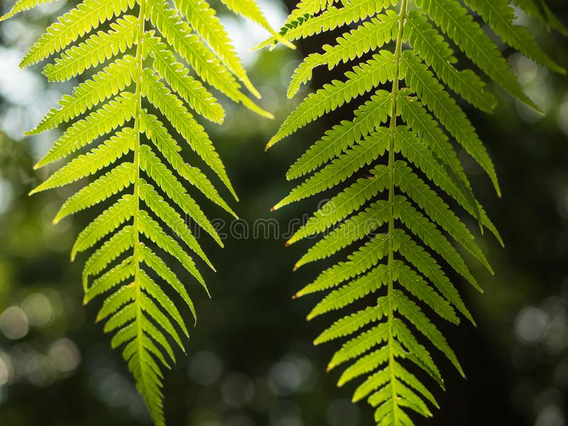 Beautiful fern leaves green. Foliage natural floral fern background in sunlight stock images