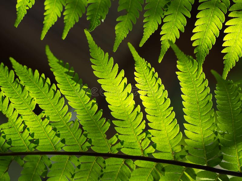 Beautiful fern leaves green. Foliage natural floral fern background in sunlight royalty free stock image