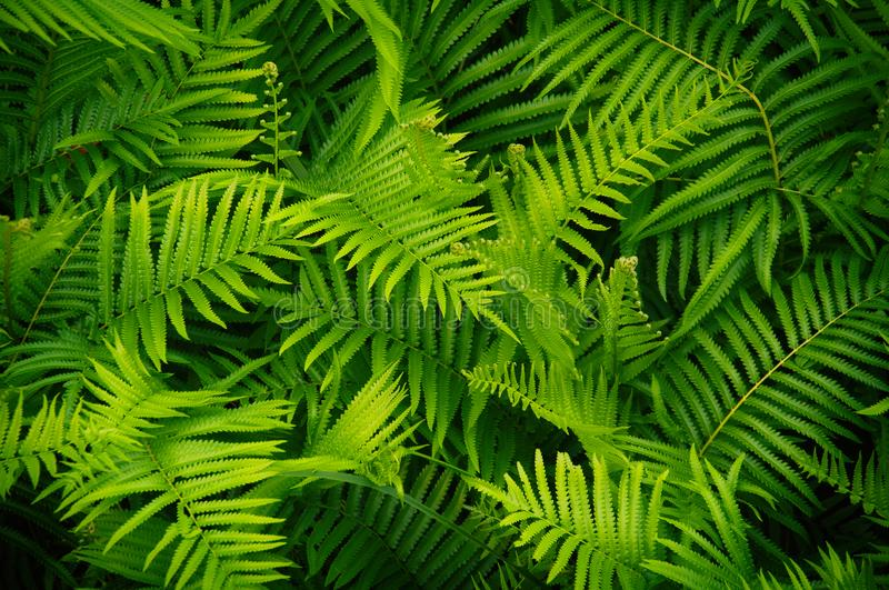 Beautyful ferns leaves green foliage natural floral fern background in sunlight. Beautiful ferns leaves green foliage natural floral fern background in sunlight royalty free stock image