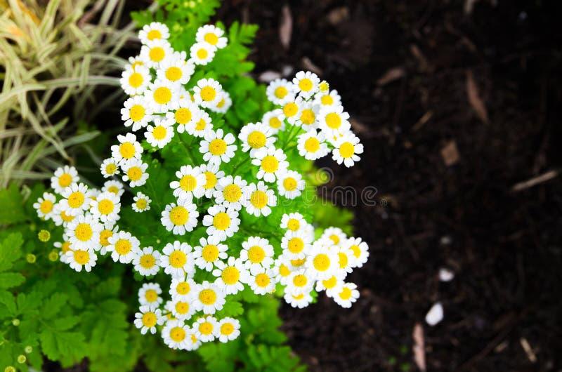 Beautiful Feverfew Tanacetum parthenium white flowers in a spring season at a botanical garden. stock photo