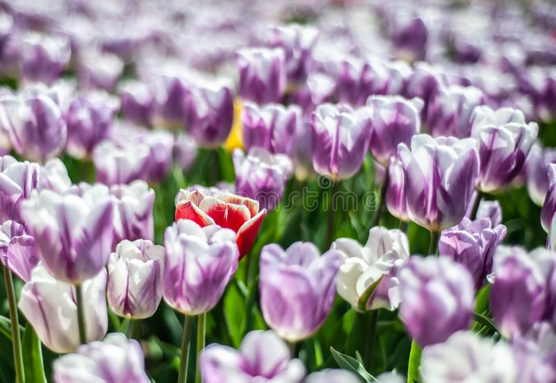 Beautiful field of white-purple tulips with one yellow-red flower on the center, blurry background royalty free stock image