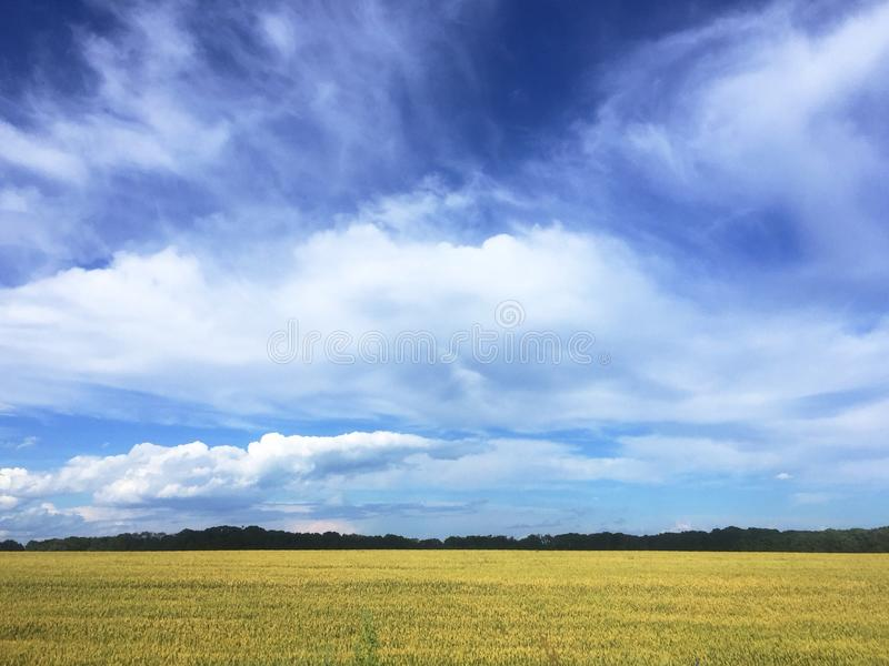 A beautiful field with blue sky, yellow wheat field and forest on the horizon line royalty free stock photography
