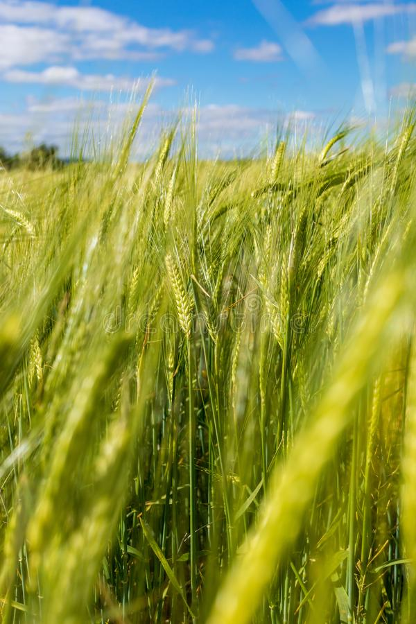 Beautiful field of cereals wheat, barley, oats green on a sunny spring day. royalty free stock images